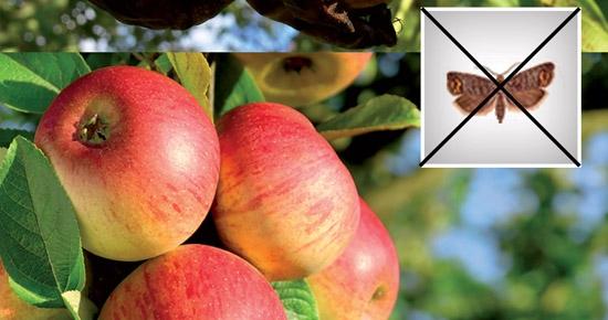 Comment faire pour traiter les pommiers et poiriers attaqués par le carpocapse des fruits ?