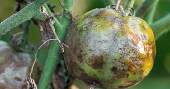 Comment lutter naturellement contre le mildiou de la tomate?