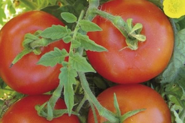 Comment protéger mes cultures de tomates ?