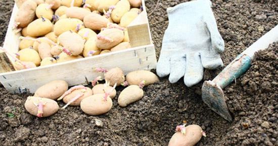Comment conserver mes plants de pommes de terre en attendant de les planter ?