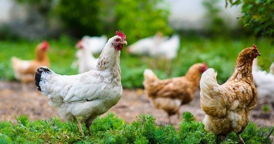 Elever des poules pondeuses dans son jardin
